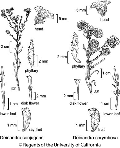 botanical illustration including Deinandra conjugens