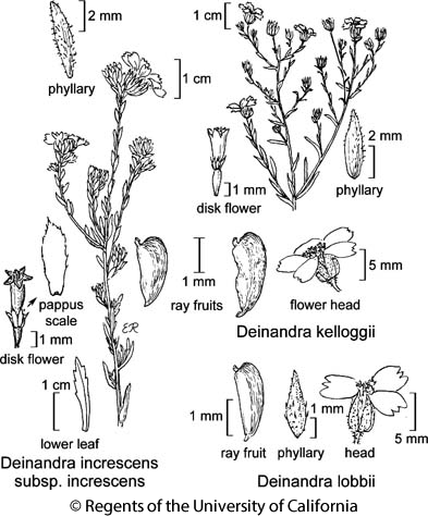 botanical illustration including Deinandra lobbii