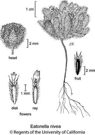botanical illustration including Eatonella nivea