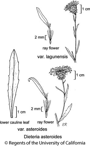 botanical illustration including Dieteria asteroides var. asteroides
