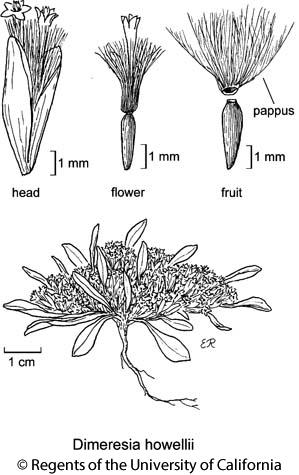 botanical illustration including Dimeresia howellii