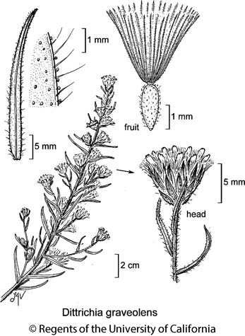 botanical illustration including Dittrichia graveolens