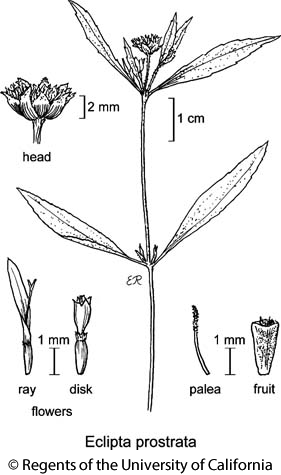 botanical illustration including Eclipta prostrata