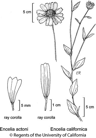 botanical illustration including Encelia californica