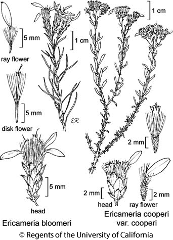 botanical illustration including Ericameria bloomeri