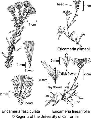 botanical illustration including Ericameria gilmanii