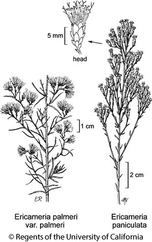 botanical illustration including Ericameria paniculata