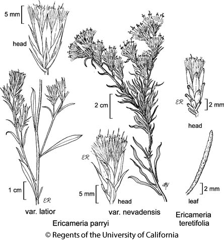 botanical illustration including Ericameria teretifolia