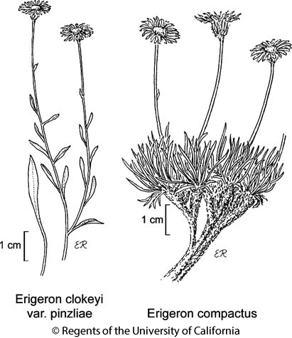 botanical illustration including Erigeron compactus