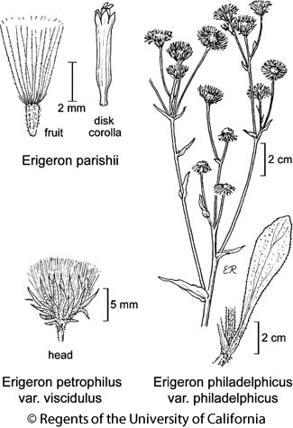 botanical illustration including Erigeron parishii