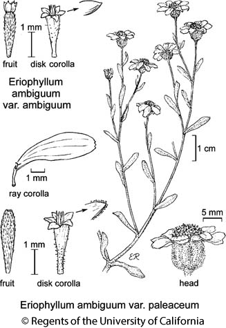 botanical illustration including Eriophyllum ambiguum var. ambiguum