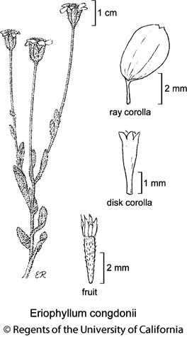 botanical illustration including Eriophyllum congdonii
