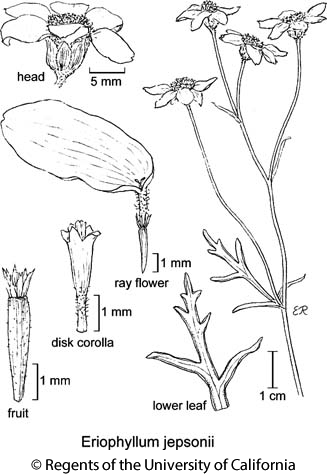botanical illustration including Eriophyllum jepsonii