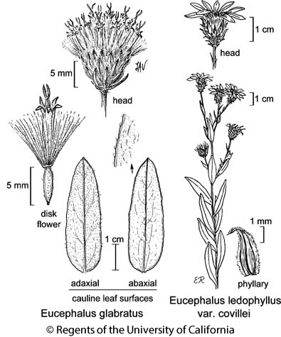 botanical illustration including Eucephalus glabratus
