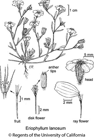 botanical illustration including Eriophyllum lanosum