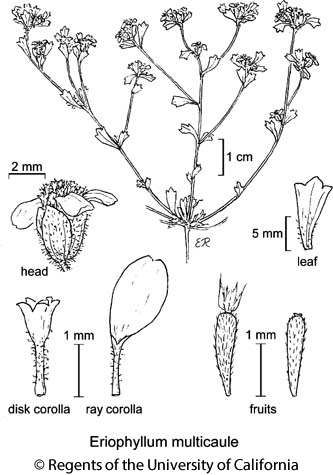 botanical illustration including Eriophyllum multicaule