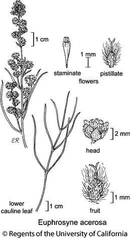botanical illustration including Euphrosyne acerosa