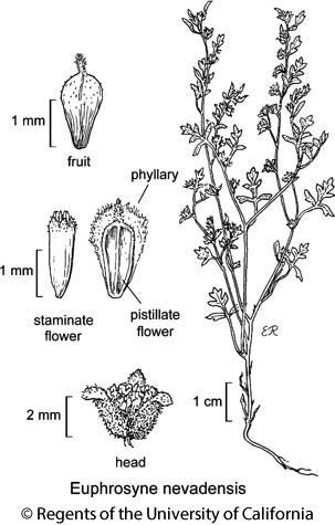 botanical illustration including Euphrosyne nevadensis