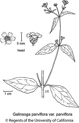 botanical illustration including Galinsoga parviflora var. parviflora