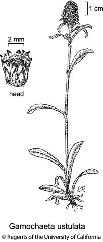 botanical illustration including Gamochaeta ustulata