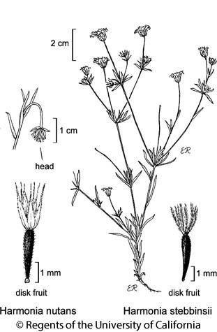 botanical illustration including Harmonia nutans