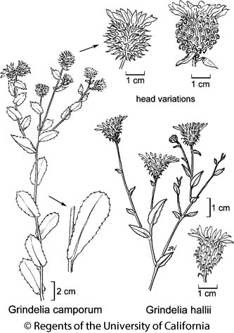 botanical illustration including Grindelia hallii