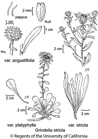 botanical illustration including Grindelia stricta var. platyphylla