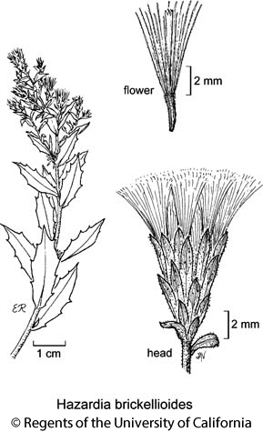 botanical illustration including Hazardia brickellioides
