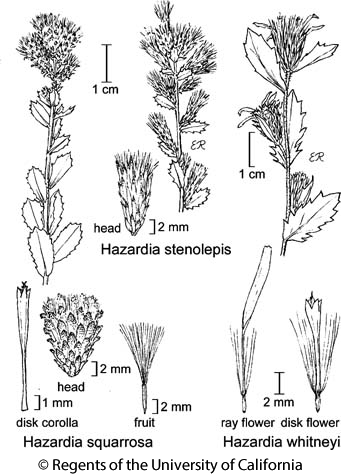 botanical illustration including Hazardia squarrosa