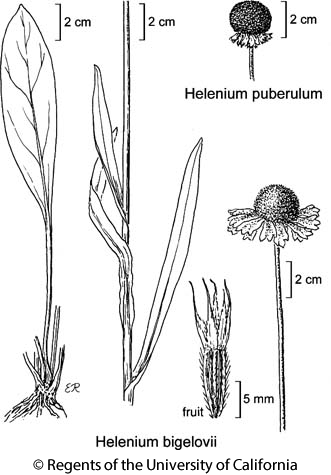 botanical illustration including Helenium bigelovii