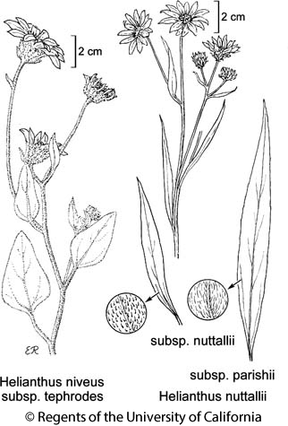 botanical illustration including Helianthus niveus subsp. tephrodes