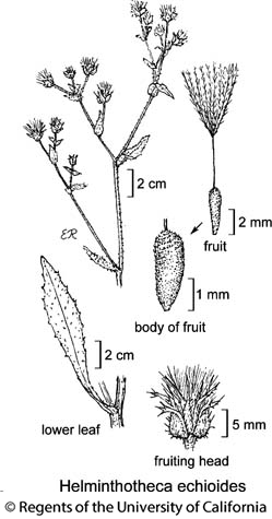 botanical illustration including Helminthotheca echioides