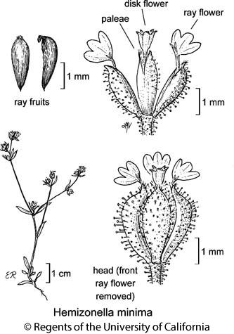 botanical illustration including Hemizonella minima