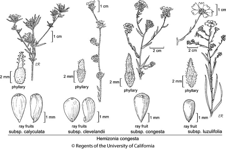 botanical illustration including Hemizonia congesta subsp. calyculata