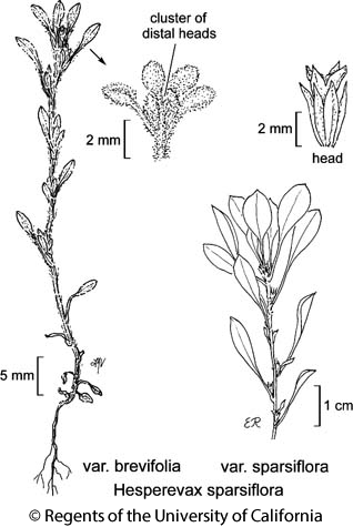 botanical illustration including Hesperevax sparsiflora var. brevifolia