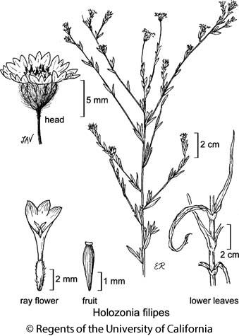 botanical illustration including Holozonia filipes