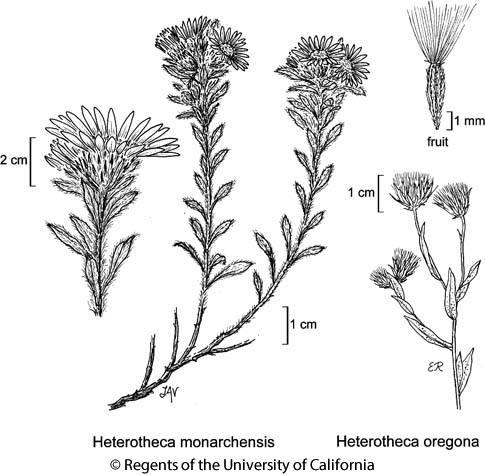 botanical illustration including Heterotheca monarchensis
