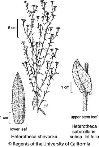 botanical illustration including Heterotheca shevockii