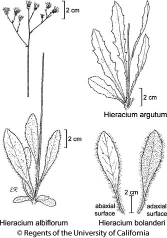 botanical illustration including Hieracium argutum