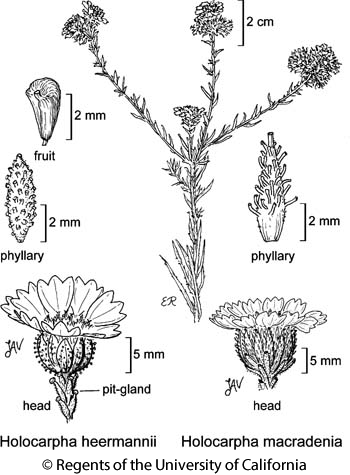botanical illustration including Holocarpha macradenia