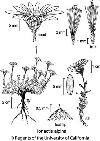 botanical illustration including Ionactis alpina