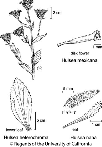 botanical illustration including Hulsea heterochroma
