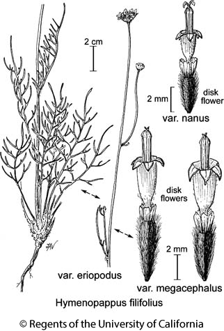 botanical illustration including Hymenopappus filifolius var. megacephalus
