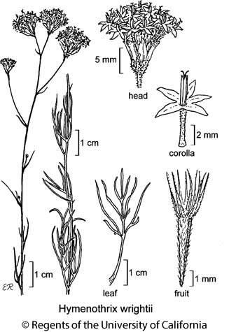 botanical illustration including Hymenothrix wrightii