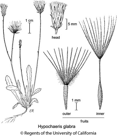 botanical illustration including Hypochaeris glabra