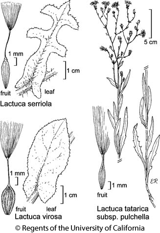 botanical illustration including Lactuca serriola