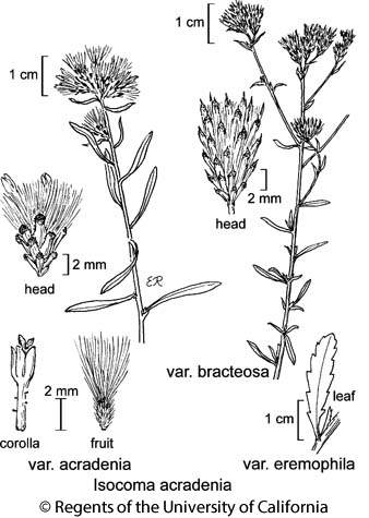 botanical illustration including Isocoma acradenia var. acradenia