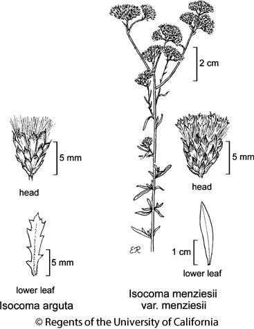 botanical illustration including Isocoma arguta