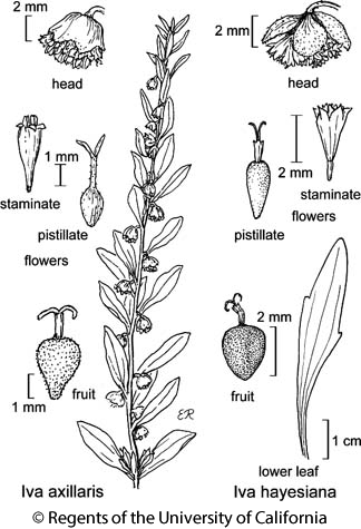 botanical illustration including Iva hayesiana