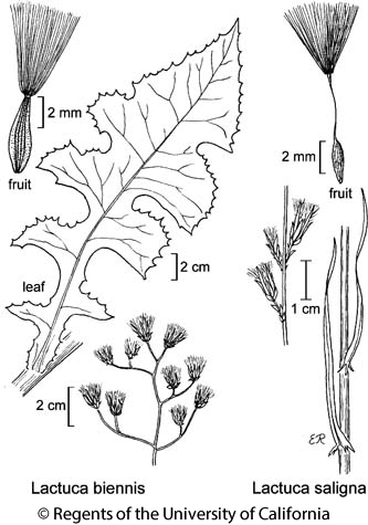 botanical illustration including Lactuca saligna